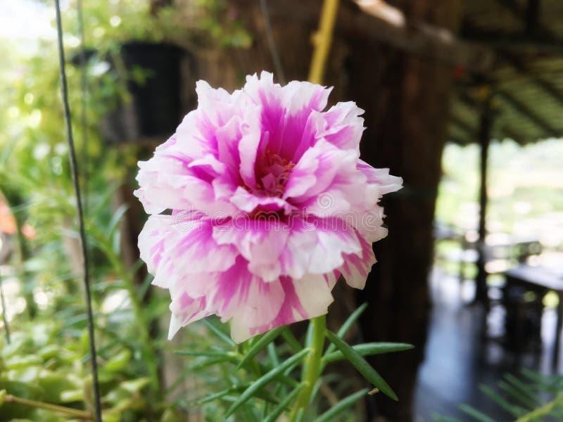 Miesza różowego i białego verdolaga, lebioda, pusley, pospolita portulaka, trochę hogweed kwiat zdjęcia stock
