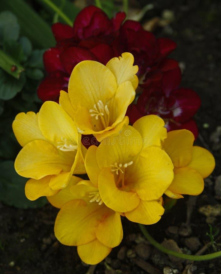 Mieszane kolorowe Freesias zdjęcie stock