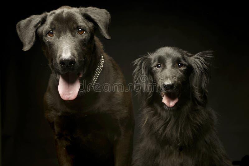 Mieszanego trakenu czarni psy podwajają portret w ciemnym fotografii studiu zdjęcia stock