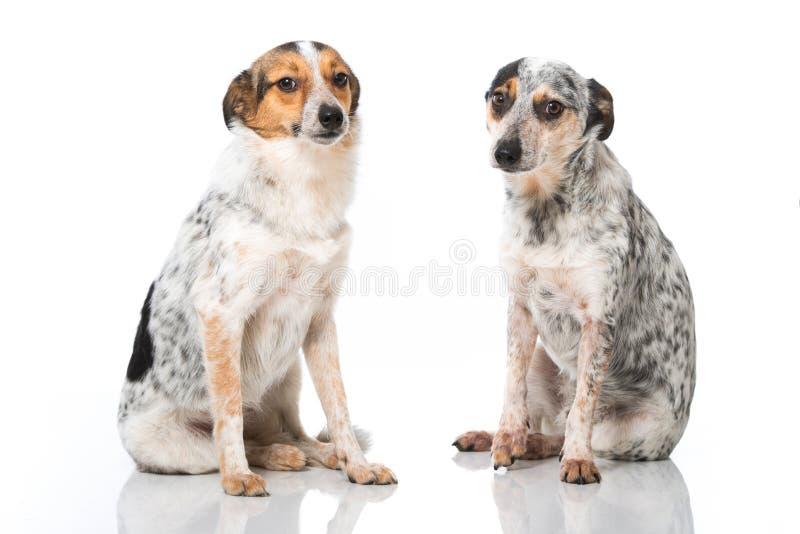 Mieszani trakenów psy obrazy stock