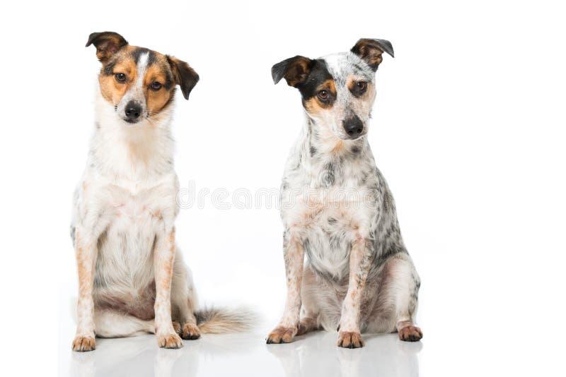 Mieszani trakenów psy zdjęcie stock