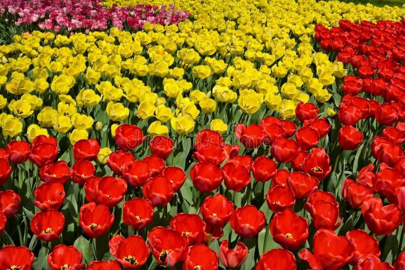 mieszanka tulipan obrazy royalty free
