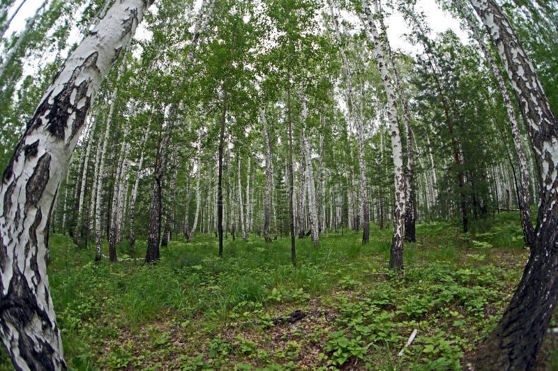 Mieszany świerczyny i brzozy las w lecie obrazy royalty free