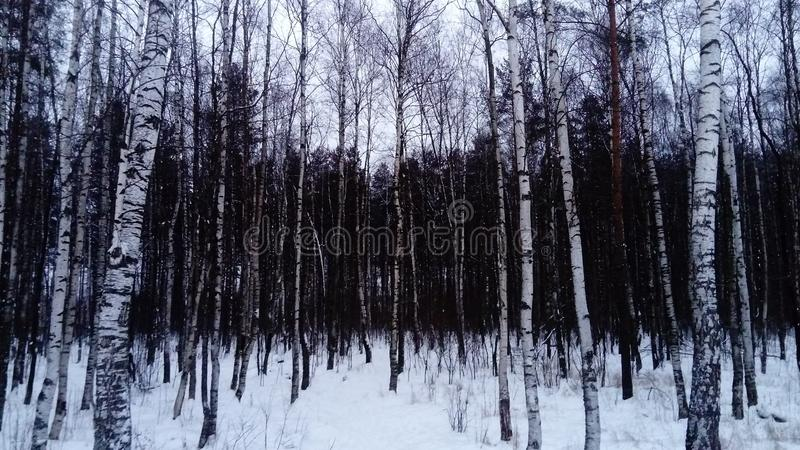 Mieszany las: birchs i inni conifers drzewa obrazy stock