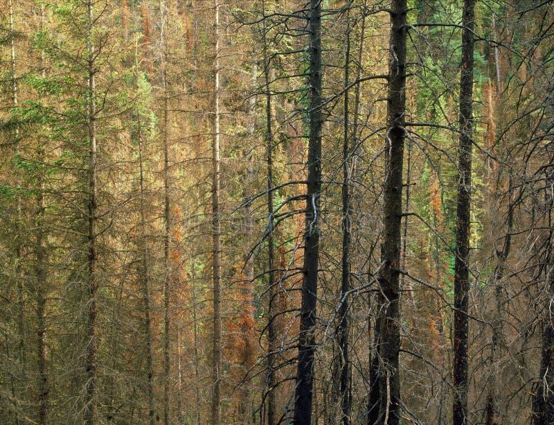 Mieszany las w Beartooth pustkowiu, Montana fotografia stock