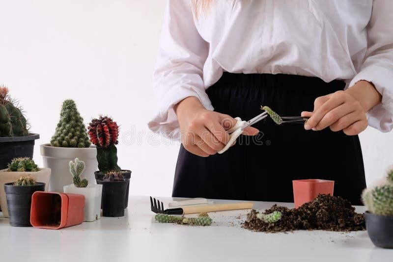 Mieszany ogrodnictwo Kobieta robi hobby ogródu rolnictwu i reprodukuje kaktusa na garnku rozkrzewia zdjęcie stock