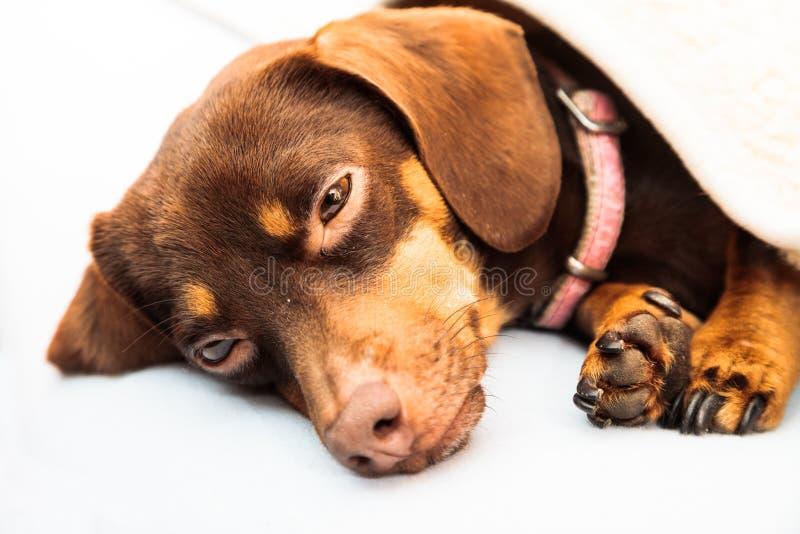 Mieszany psi dosypianie na łóżku w domu fotografia stock