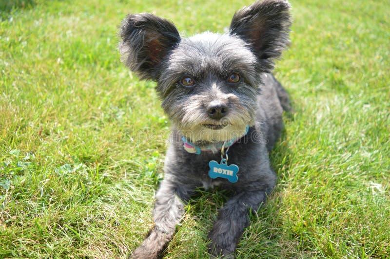 Mieszany Terrier pies Z Psią etykietką obraz stock