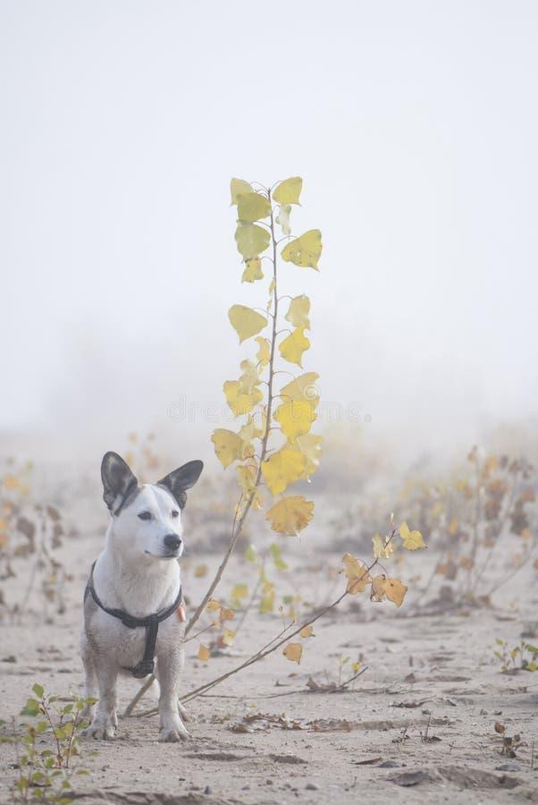 Mieszany trakenu pies na spacerze w mglistym ranku zdjęcia stock