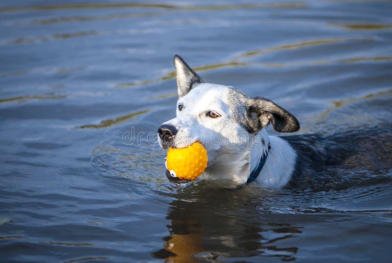 Mieszany trakenu pies pływa z żółtą piłką obraz stock