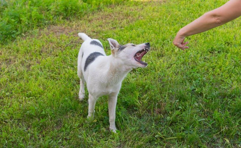 Mieszany trakenu pies próbuje gryźć ludzką rękę zdjęcie royalty free