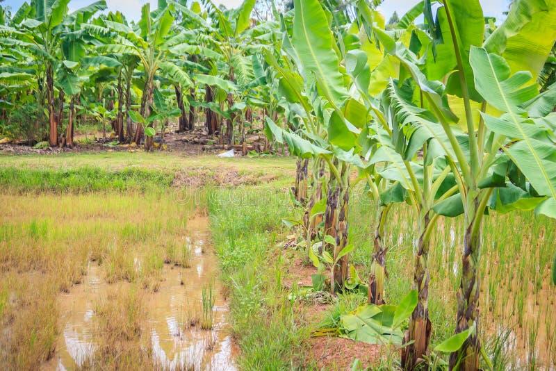 Mieszany uprawiać ziemię jest agricul zasadzać bananowych drzewa w ryżowych polach fotografia stock