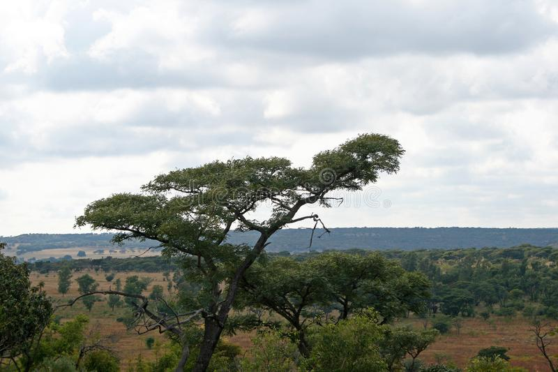 MIESZKANIE NAKRYWAJĄCY drzewo W BUSH krajobrazie zdjęcia royalty free