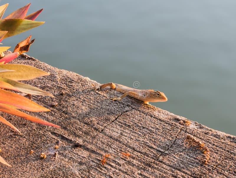 Mieszkanowie kameleonu kamuflaż ximpx w naturze zdjęcie stock