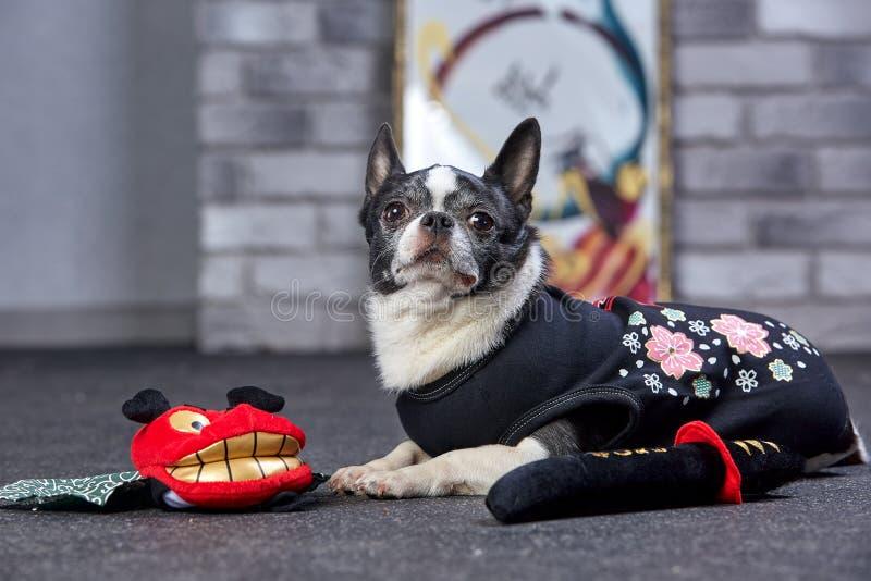 ?mieszny chihuahua w ninja kostiumu, studio strza? obrazy royalty free