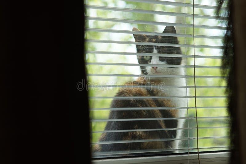 ?mieszny tricolor kota obsiadanie na windowsill i spojrzenie za okno obraz royalty free