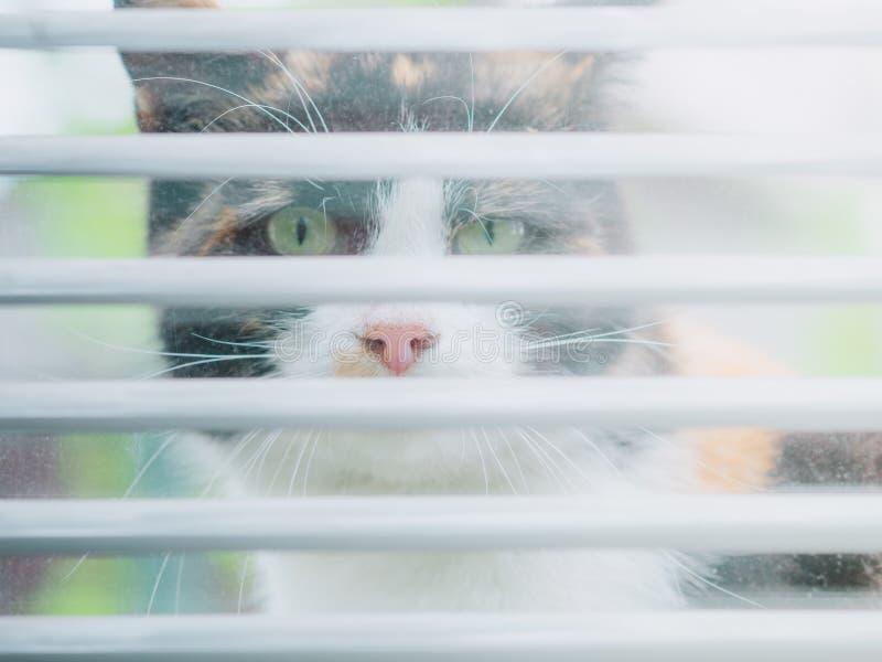 ?mieszny tricolor kota spojrzenie za okno obraz royalty free