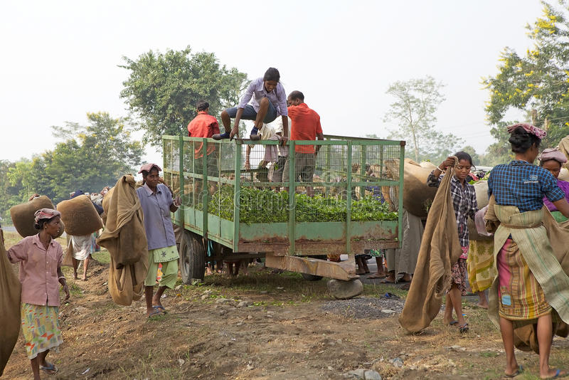 Mietitrici del tè, il Bengala Occidentale, India fotografia stock