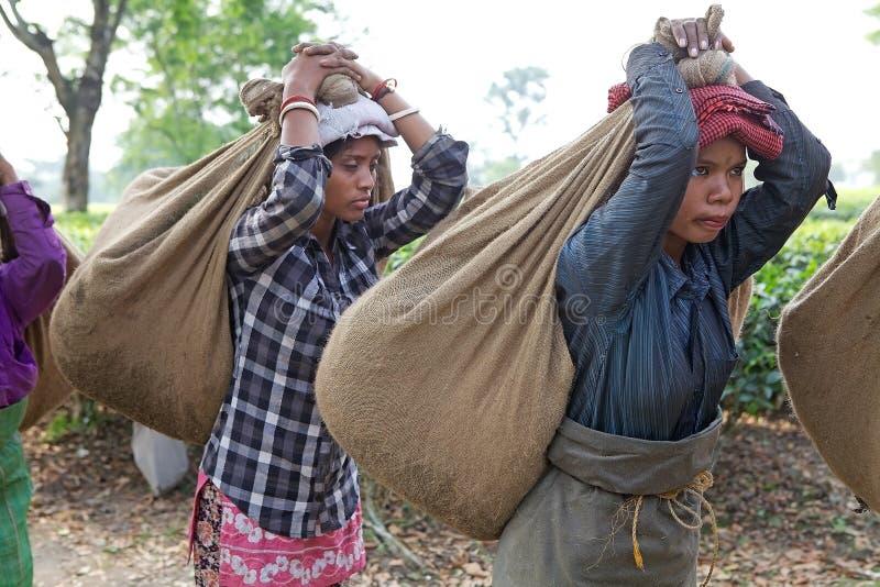 Mietitrici del tè, il Bengala Occidentale, India fotografie stock