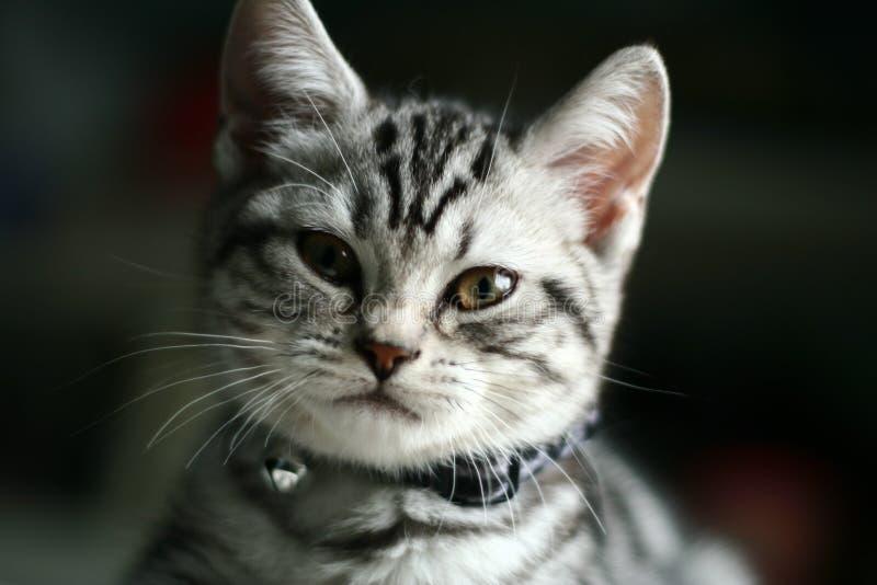 Download Miezekatze stockbild. Bild von amerikanisch, kitty, gedanke - 9090075