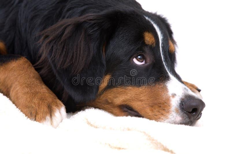 Download Mig Som Inte är Mest Sweetest Fotografering för Bildbyråer - Bild av hundar, gulligt: 3543627