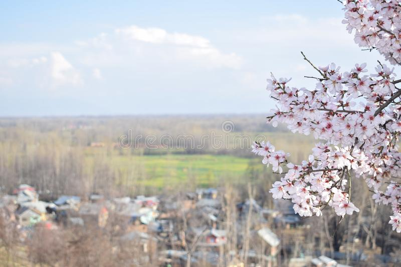 Migdał Kwitnie W Kaszmir dolinie z kwiatem obraz stock