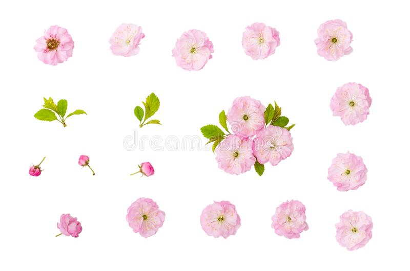 Migdał menchii kwiaty, zieleń liście i pączek odizolowywający na białym tle z ścinek ścieżką, fotografia stock