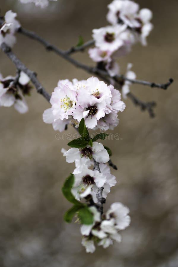Migdał uprawia ogródek, Migdałowy sad w kwiacie, Judea równiny Izrael zdjęcia royalty free