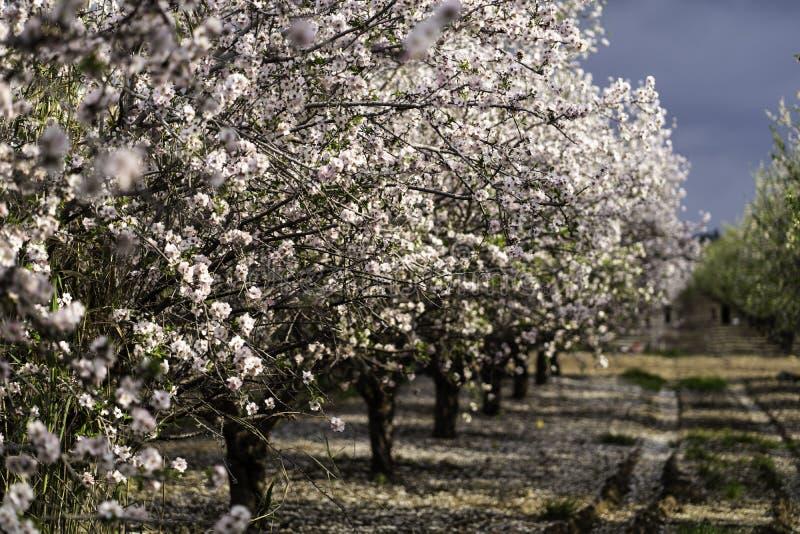 Migdał uprawia ogródek, Migdałowy sad w kwiacie, Judea równiny Izrael obrazy stock