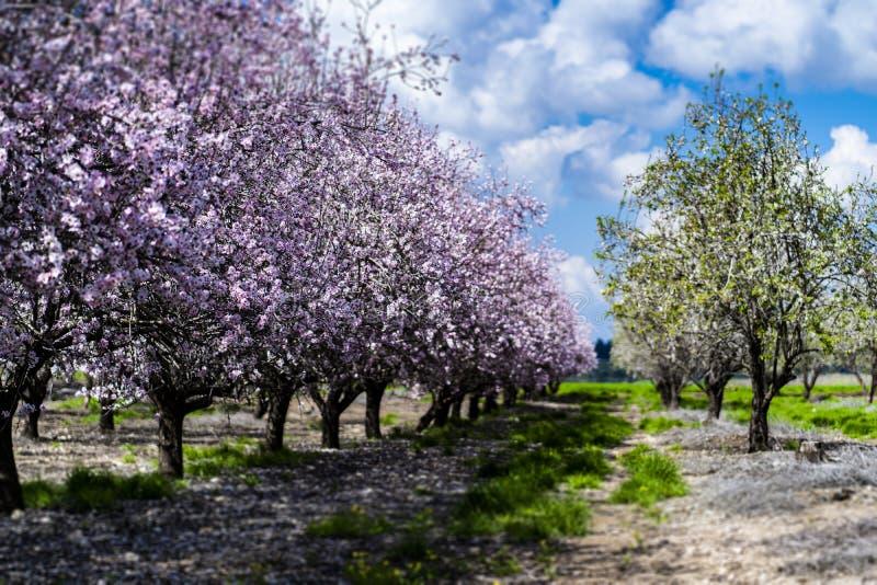 Migdał uprawia ogródek, Migdałowy sad w kwiacie, Judea równiny Izrael obraz royalty free