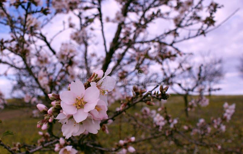 Migdałowego drzewa kwiat na błękitnym tle obraz stock