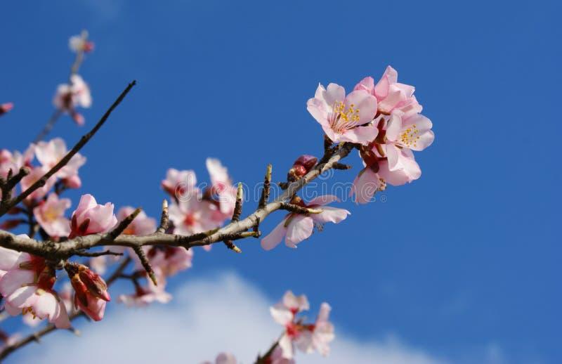 Migdałowego drzewa kwiat na błękitnym tle fotografia stock