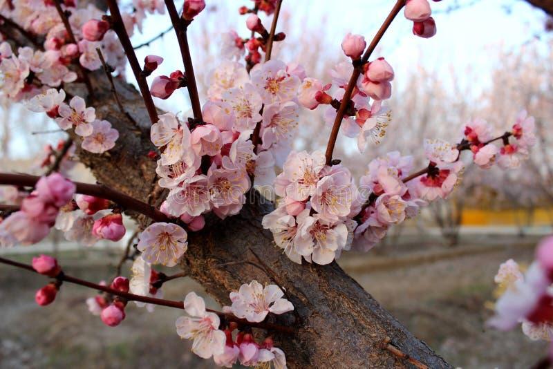 Download Migdałowego Drzewa Okwitnięcia Obraz Stock - Obraz złożonej z migdał, roślina: 57660679