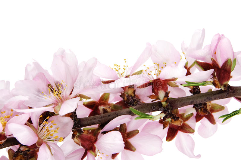 Download Migdałowi okwitnięcia zdjęcie stock. Obraz złożonej z kwiat - 13326064