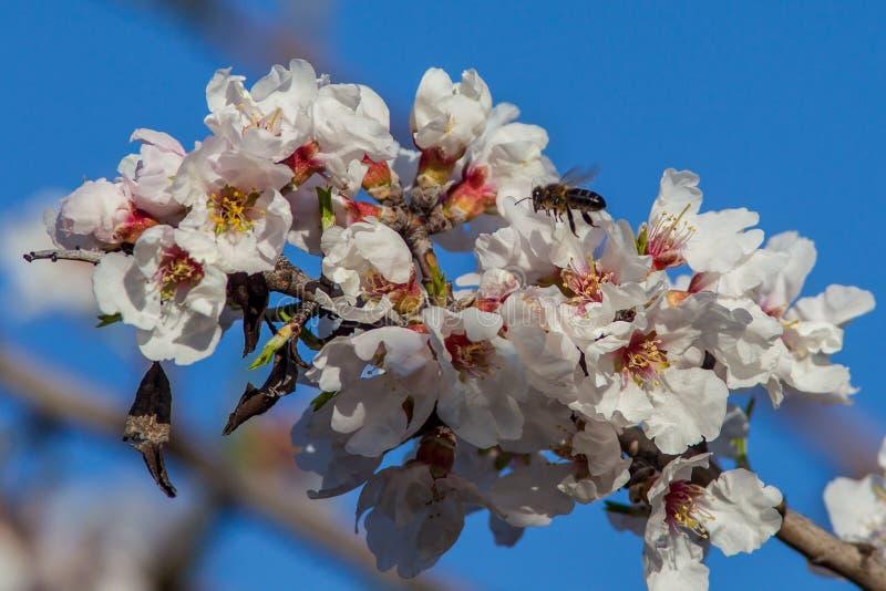 Migdałowi pszczoły okwitnięcia kwiaty obrazy stock