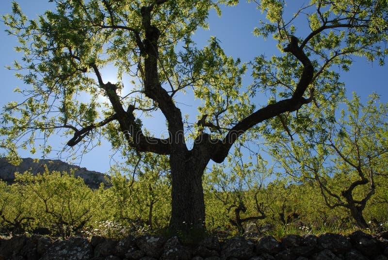 Migdałowy drzewo, backlit w wiośnie fotografia royalty free