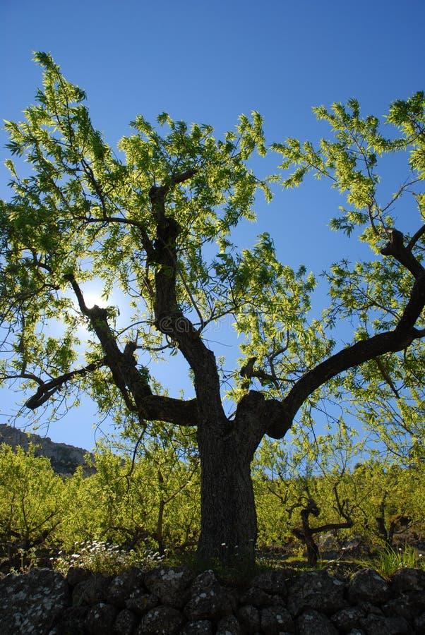 Migdałowy drzewo, backlit w wiośnie obraz royalty free