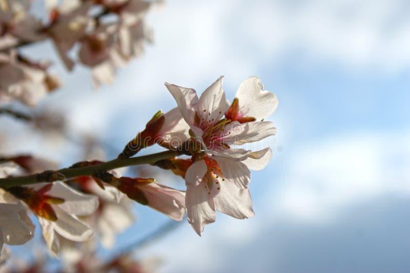 Migdałowy drzewo kwitnie z niebieskim niebem z chmury tłem fotografia stock