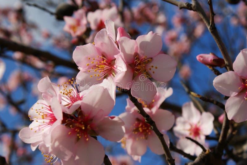 Migdałowy drzewo kwitnie z niebieskim niebem z chmury tłem zdjęcie stock