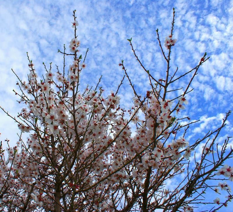Migdałowy drzewo kwitnie z niebieskim niebem z chmury tłem zdjęcia royalty free