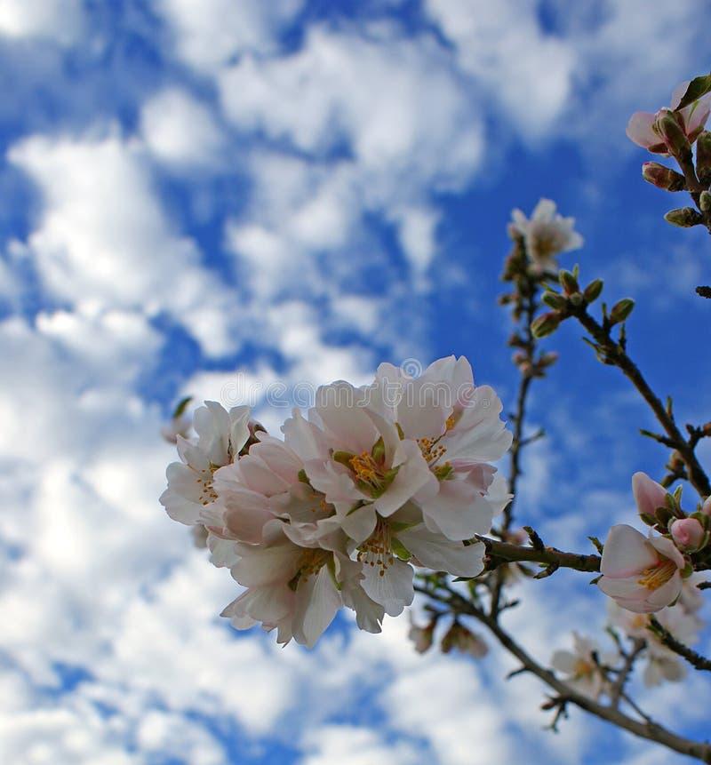 Migdałowy drzewo kwitnie z niebieskim niebem z chmury tłem obraz stock