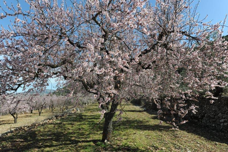 Migdałowy drzewo zakrywający w pięknych perfumowych menchiach kwitnie zdjęcia royalty free