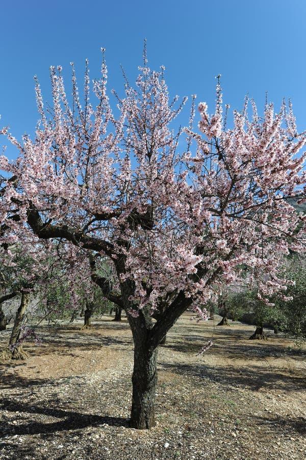 Migdałowy drzewo zakrywający w pięknych perfumowych menchiach kwitnie zdjęcie royalty free