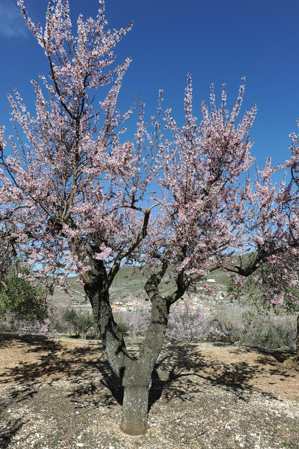 Migdałowy drzewo zakrywający w pięknych perfumowych menchiach kwitnie obrazy royalty free