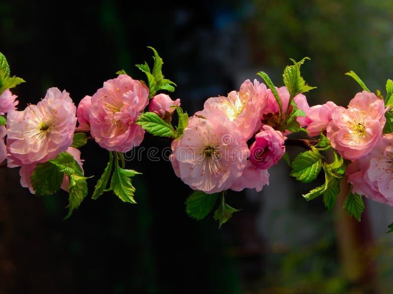 Migdałowy kwiat dla tła obraz royalty free