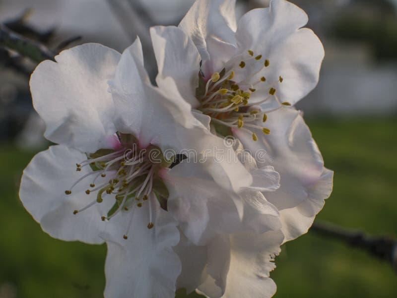 Migdałowy kwiat flurishing zdjęcia stock