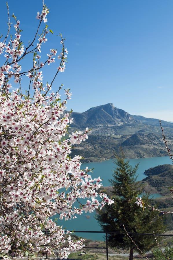 migdałowy kwiatonośny Zahara obrazy stock