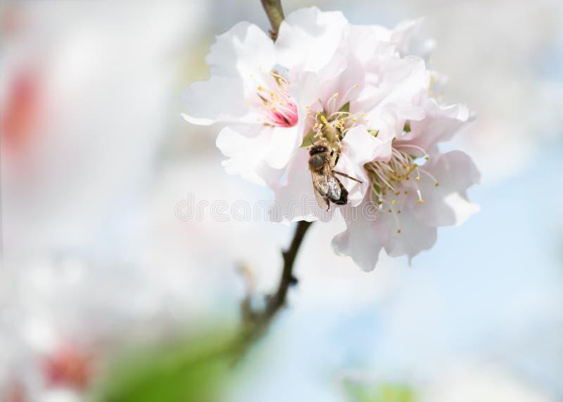 Migdałowy okwitnięcie i pszczoła zdjęcie royalty free
