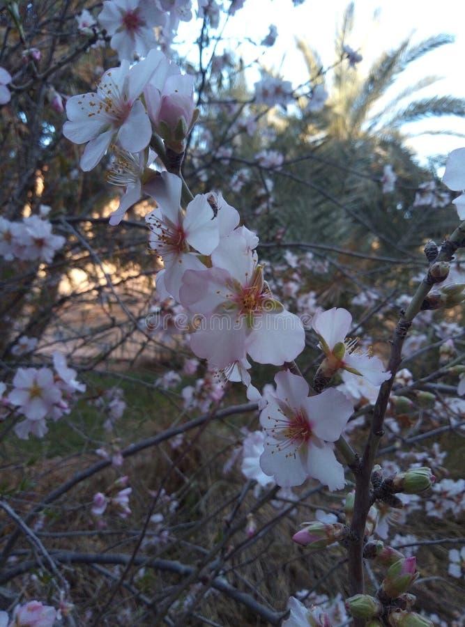 Migdału drzewo zdjęcia royalty free