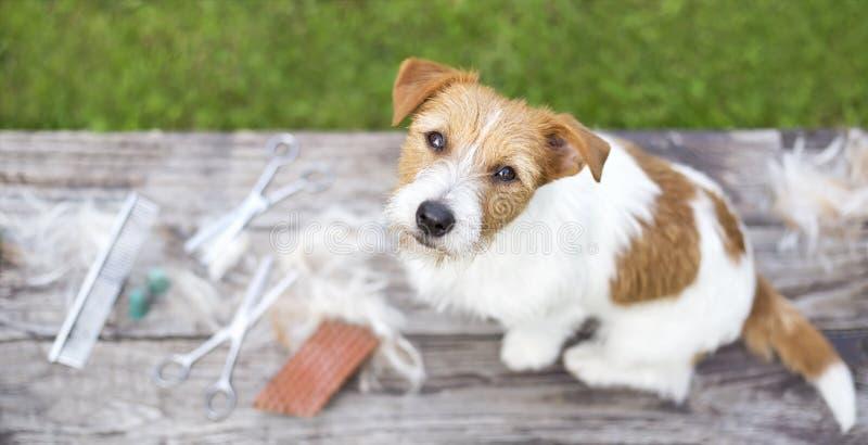Migdali przygotowywać pojęcie, sieci dźwigarki Russell pies jako obsiadanie na stole sztandar obraz stock